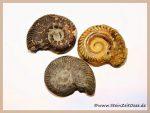 Ammonit ganz natur